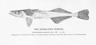 Marlin sucker species of fish