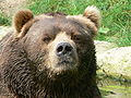 Face male kodiak bear.JPG