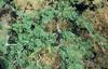 Faidherbia albida branch