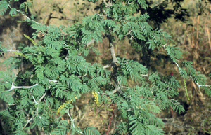Faidherbia - Branch with flowers