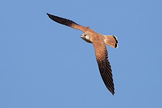 Nankeen kestrel species of falcon
