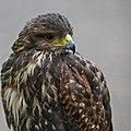 Falcon GreyBG.jpg