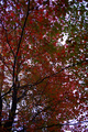 Fall-red-green-tree - West Virginia - ForestWander.png