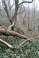 Fallen tree in Fox Holes - geograph.org.uk - 727127.jpg