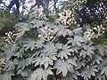 Fatsia japonica in Korea.JPG
