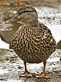 Female Mallard at Ohio River.jpg