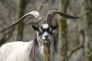 British Primitive goat Type of domestic goat