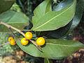 Ficus Microcarpa 09.JPG