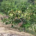 Ficus carica9.jpg