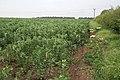 Field beans off Laming Gap Lane - geograph.org.uk - 185855.jpg