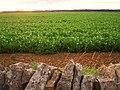 Field of peas - geograph.org.uk - 235215.jpg