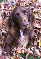 Field spaniel (male, age 14 years).jpg