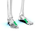 First metatarsal bone04.png