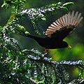 Fleeing Blackbird.jpg