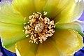 Fleur d'Opuntia 2.JPG