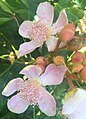 Fleurs de rocouyer ou Bixa orellana.jpg