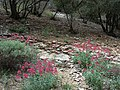 Fleurs des gorges de l'Ardèche 05.jpg