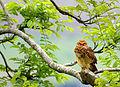 Flickr - Dario Sanches - CORUJA-BURAQUEIRA ( Athene cunicularia ).jpg