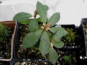 Flickr - brewbooks - Quercus sadleriana (Deer Oak) (1).jpg