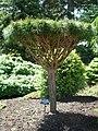 Flickr - brewbooks - Tanyosho Pine - Evergreen Arboretum and Gardens.jpg