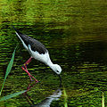 Flickr - coniferconifer - Black winged stilt.jpg