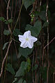 Flickr - ggallice - Pantanal flower.jpg