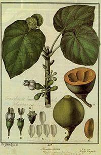 Real jard n bot nico de madrid wikipedia la for Anales del jardin botanico