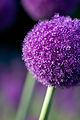 Flower, Allium giganteum - Flickr - nekonomania (1).jpg