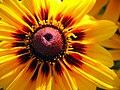 Flowers of Iran گلهای ایران 06.jpg