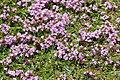 Flowers on Predannack Head (8023).jpg