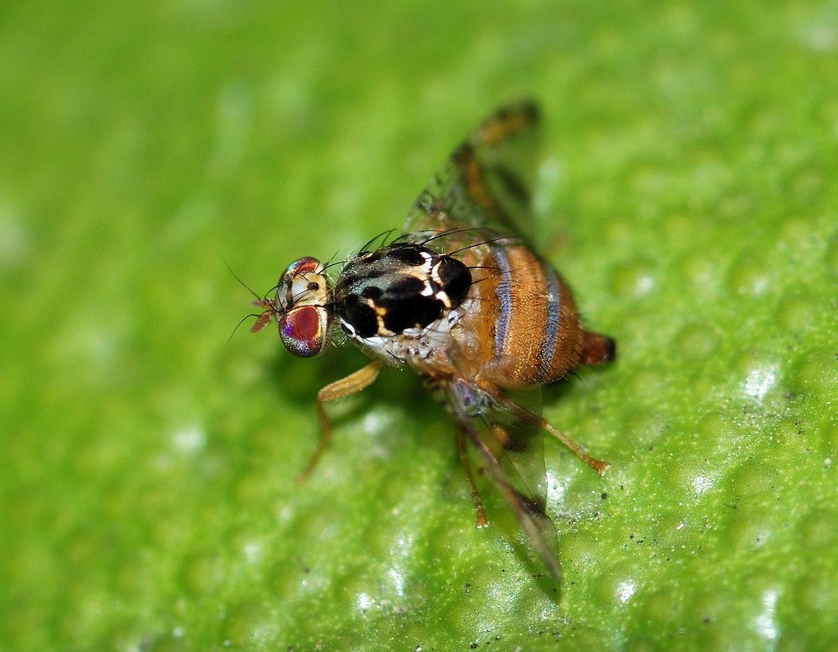 Attaque de la mouche des fruits en californie wikip dia - Invasion de mouches pourquoi ...