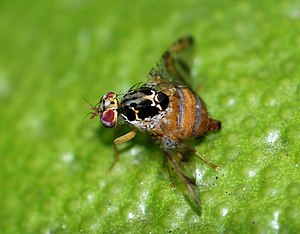 English: A female Mediterranean fruit-fly (Cer...