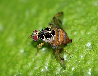 Ceratitis capitata - Image: Fly October 2008 4