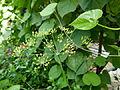 Foeniculum vulgare serres du jardin du Luxembourg.JPG