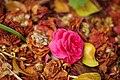 Follen Camellia Japonica (211074401).jpeg