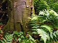 Fomes fomentarius - Nicholas T - Tionesta Scenic Area (8).jpg