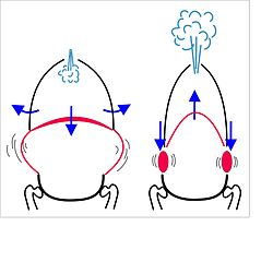 how does muscle contraction cause depth of respirations Contraction of these muscles result in increased intrathoracic volume and  increased pleural  if the muscle contraction is palpable during quiet tidal  breathing, the  patient appears comfortable and the rhythm of respiration close  to regular.