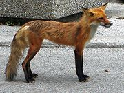 An urban fox in High Park, Toronto. Note how skinny it is.