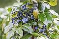 Früchte der Mahonia (14746601881).jpg
