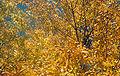 Fraxinus americana fall.jpg