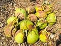 Fresh coconut FB7DBC47-2807-4FFF-94E6-92E70D83EE82.jpg