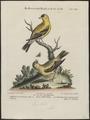 Fringilla tristis - 1700-1880 - Print - Iconographia Zoologica - Special Collections University of Amsterdam - UBA01 IZ16000029.tif