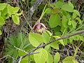 Fritillaria atropurpurea habit (3435101152).jpg