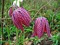 Fritillaria meleagris 002.JPG