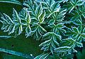 Frosty Green (8127250640).jpg