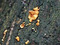 Fungi in the woods at Woodhall Spa - geograph.org.uk - 471465.jpg