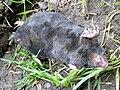 GOC The Pelhams 042 Dead mole (Talpa europaea) (28188162595).jpg