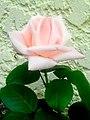 Gabi´s schönste Rose - panoramio.jpg
