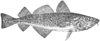 Gadus morrhua illustration