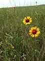 Gaillardia aristata - Blanket Flower (19500359096).jpg